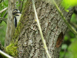 woodpecker feeding its young