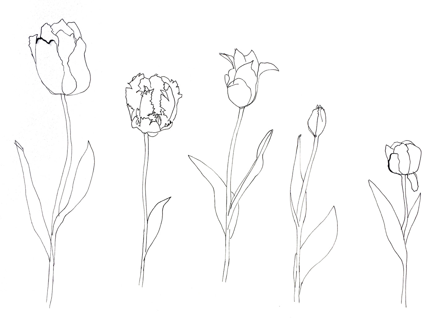 Tulip colouring sheets
