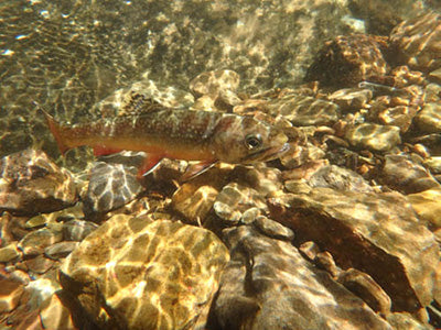 Mountain Trout Streams Fly Fishing Report - July 30, 2020