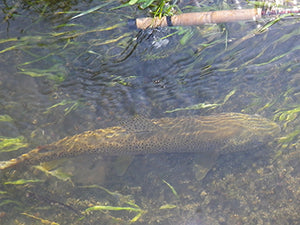 Stocked Trout Streams Fly Fishing Report - June 11, 2020