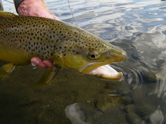Delayed harvest and stocked trout streams fly fishing report for Stocked trout fishing
