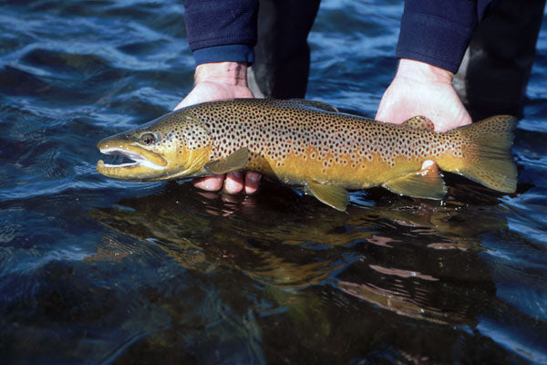 Delayed Harvest and Large Stocked Trout Streams Fly Fishing Report- December 26, 2017
