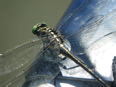 Dragonfly - Murray's Fly Shop - Shenandoah River Virginia