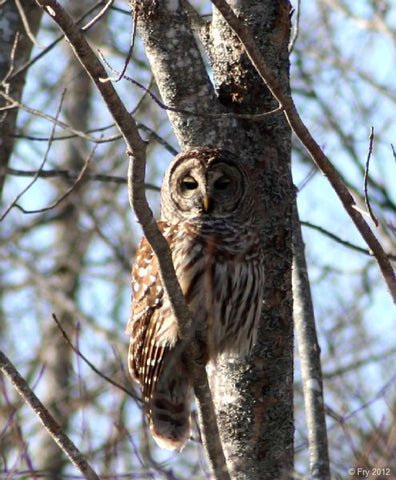 Photo Card - Barred Owl
