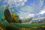 Flying Honu - Matted Print