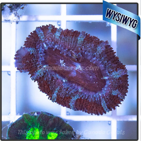 Stars and Stripes Acan Frag WYSIWYG - Canada Corals