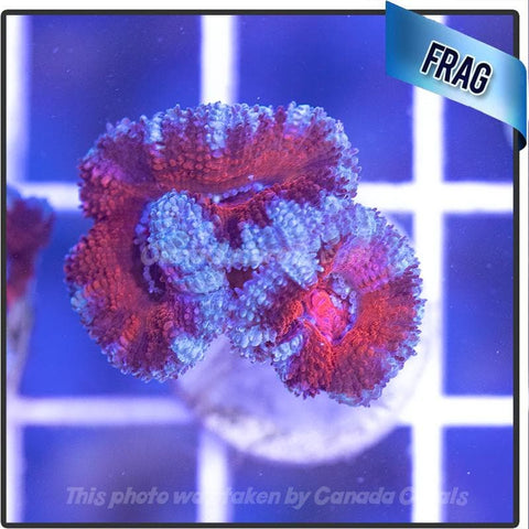 Fire and Ice Acan Lord Frag