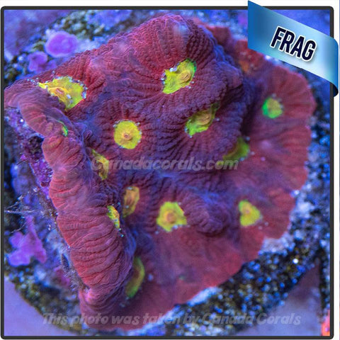 Red and Orange Favia WYSIWYG - Canada Corals