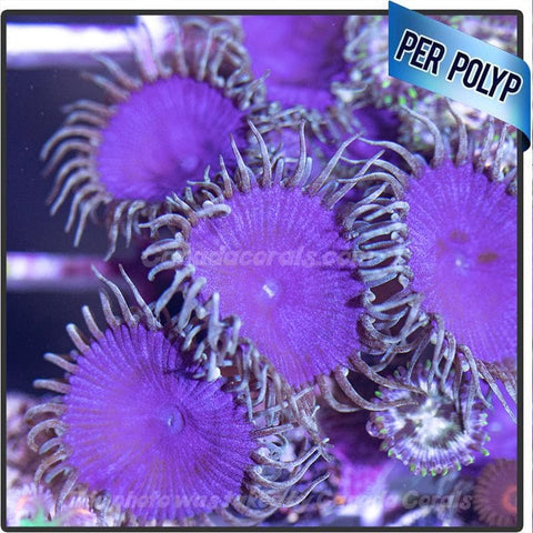 Purple Death Palythoa Frags