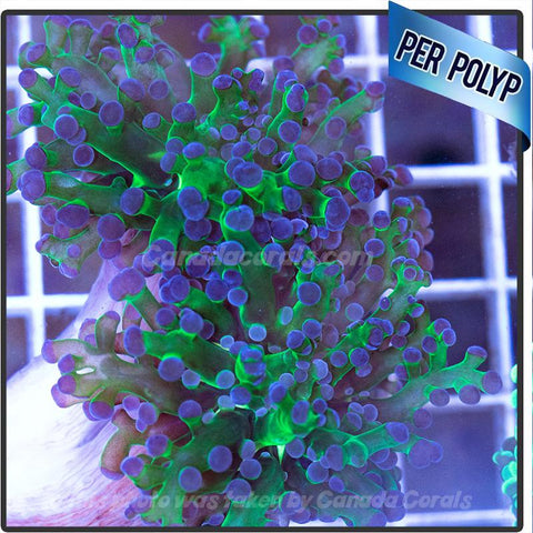 Green with Purple Tips Frogspawn Frags - Canada Corals