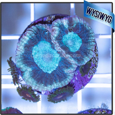 Teal Favia with Purple Zoanthids - Canada Corals