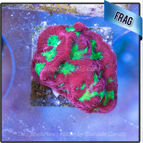 Watermelon Favia Frags - Canada Corals