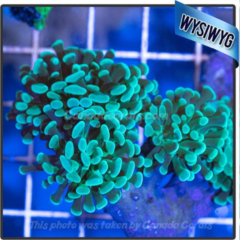 WYSIWYG Branching Green Hammer Colony - Canada Corals