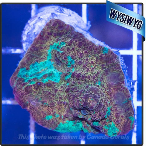 Orange and Teal Splatter Chalice WYSIWYG 1 - Canada Corals