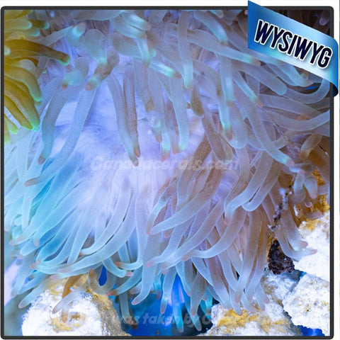 WYSIWYG Light and Bright Bubble Tip Anemone 1 - Canada Corals