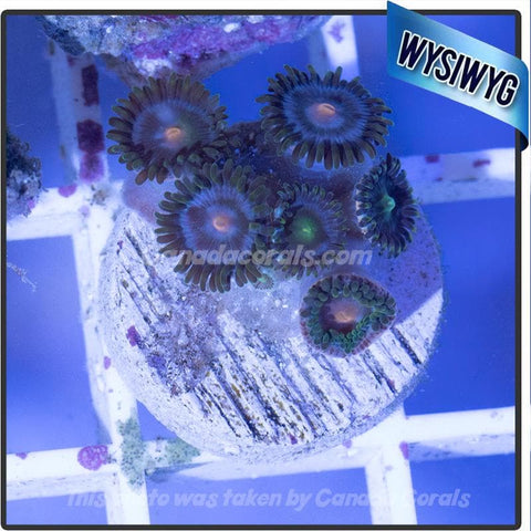 Combo Peach/Green Mouth Zoanthid Frag WYSIWYG 2