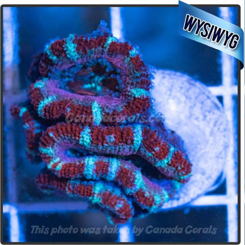 Red White and Blue Acan Lord WYSIWYG 1