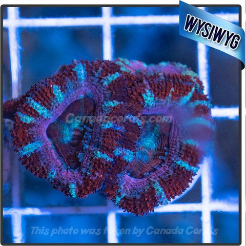 Red White and Blue Acan Lord WYSIWYG 2