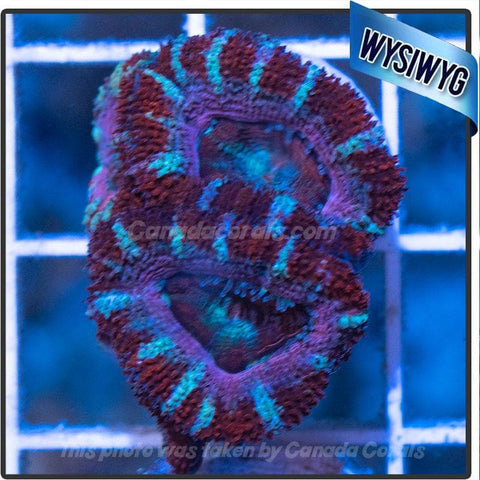 Red White and Blue Acan Lord WYSIWYG 3