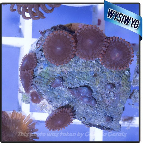 Purple and Red Zoanthid Frag WYSIWYG 1