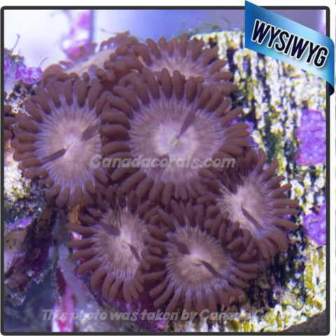 Tan Zoanthid Mini Colony 2