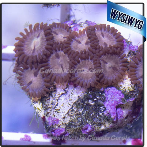 Tan Zoanthid Mini Colony