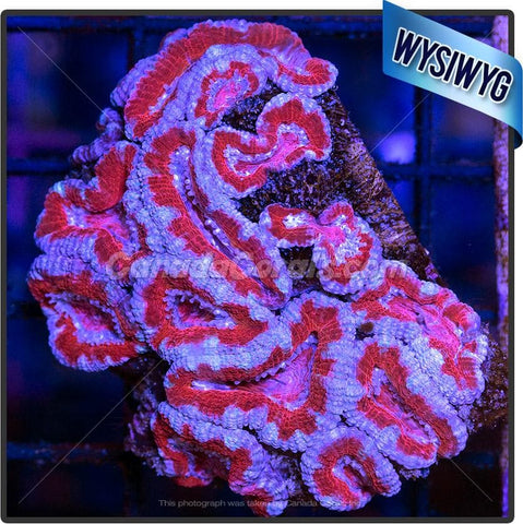 Red and Blue Acan Lord WYSIWYG