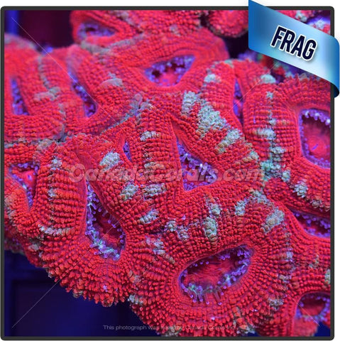 Punchy Red Acan Lord Frag