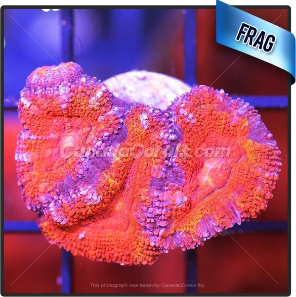 Coloured Mosaic Ultra Acan Lord Frag