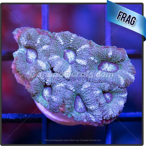 Striped Mint Acan Lord Frag