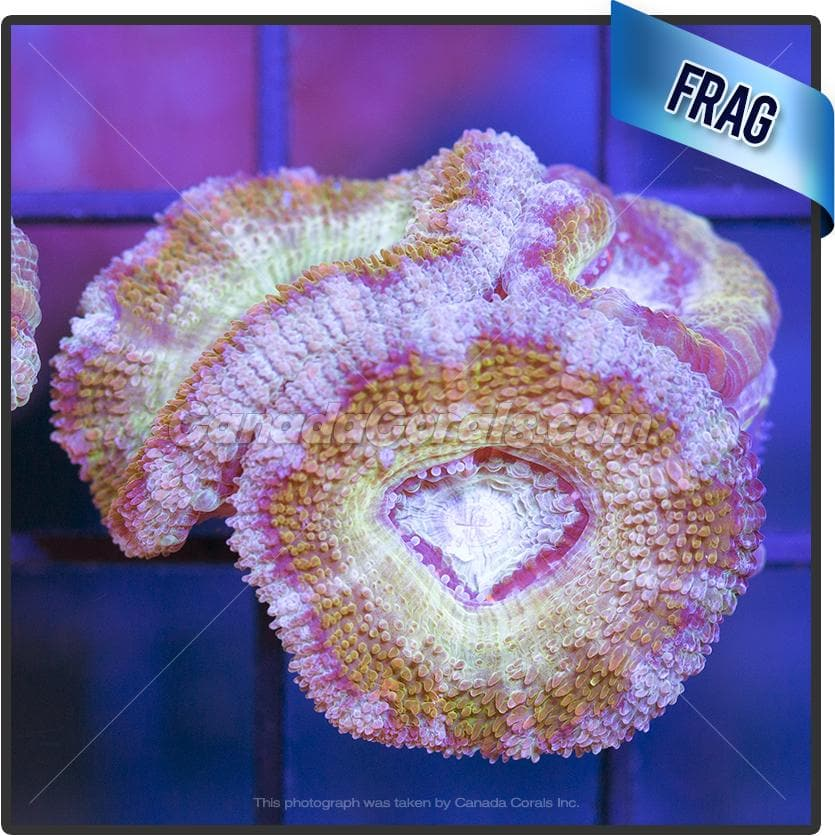 Aussie Gold Ultra Acan Lord Frag