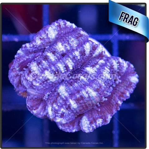 Frosted Grape Acan Lord Frag