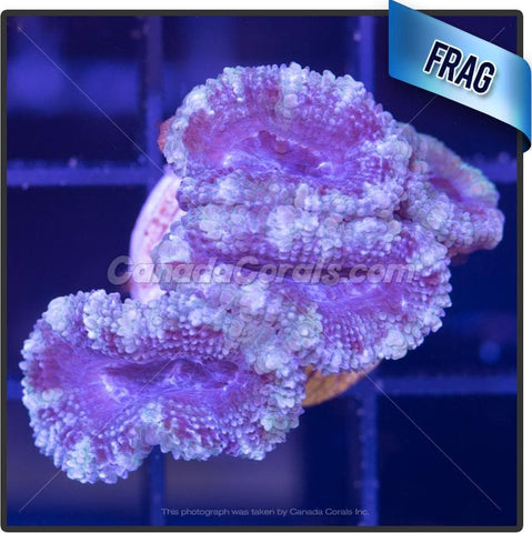 Winter Fresh Acan Lord Frag