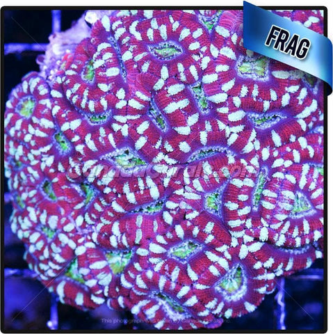 Heart of Gold Acan Lord Frag