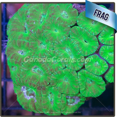 Neon Green Acan Lord Frag