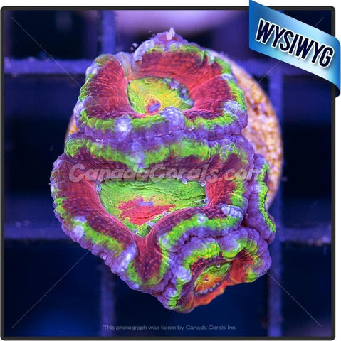 Laser Lemon Ultra Acan Lord WYSIWYG
