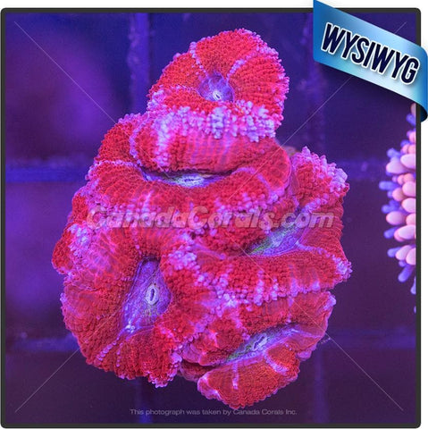 Astral Pink Acan Lord WYSIWYG 5