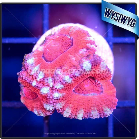 Strawberry Mint Acan Lord WYSIWYG 4