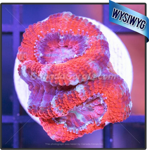 Dance Party Aussie Acan Lord WYSIWYG 4