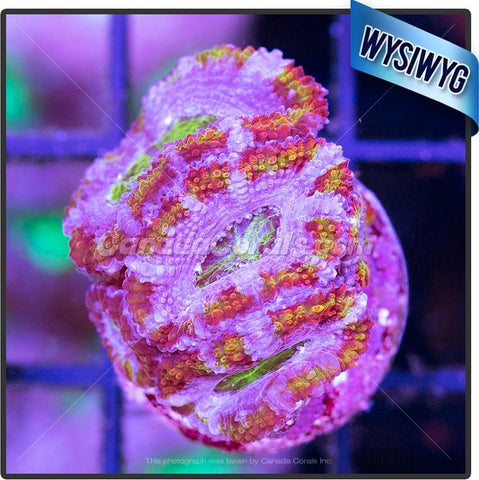Rainbow Belt Ultra Acan Lord WYSIWYG