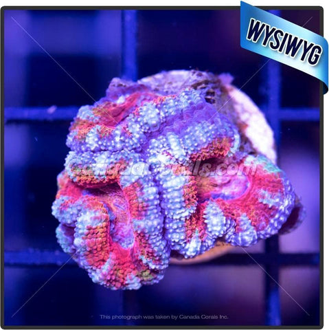 Day Dreamer Ultra Acan Lord WYSIWYG 2