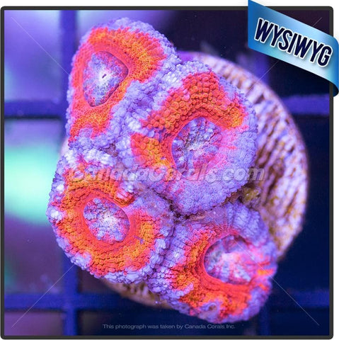 Aussie Black Hole Sun Ultra Acan Lord WYSIWYG 7