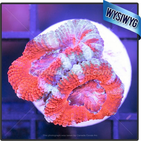 Dance Party Aussie Acan Lord WYSIWYG 5