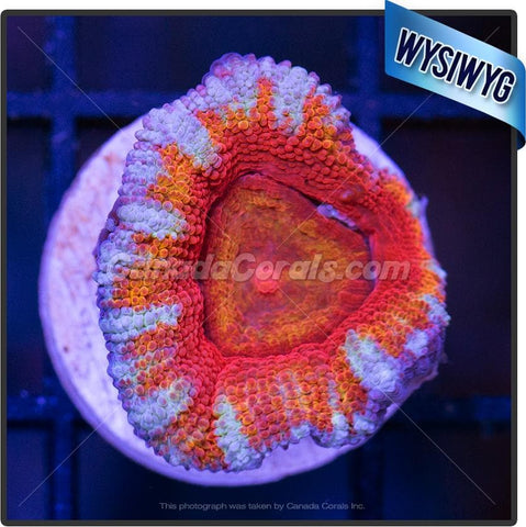 Sunny Side Up Ultra Acan Lord WYSIWYG 4