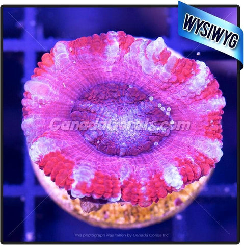 Blue Blood Acan Lord WYSIWYG 6