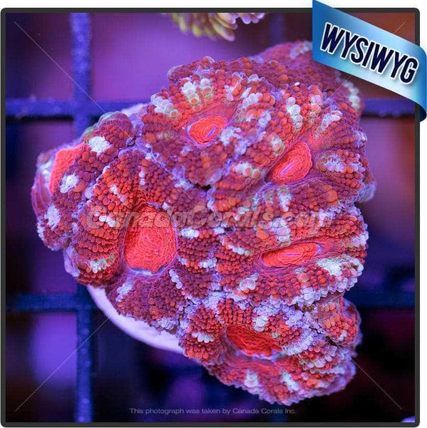 Frosted Ruby Acan Lord WYSIWYG