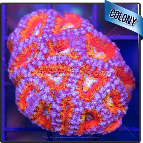 Orange Knockout Aussie Ultra Acan Lord Mini Colony