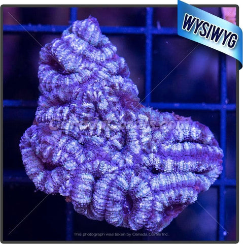 Frosted Grape Acan Lord WYSIWYG