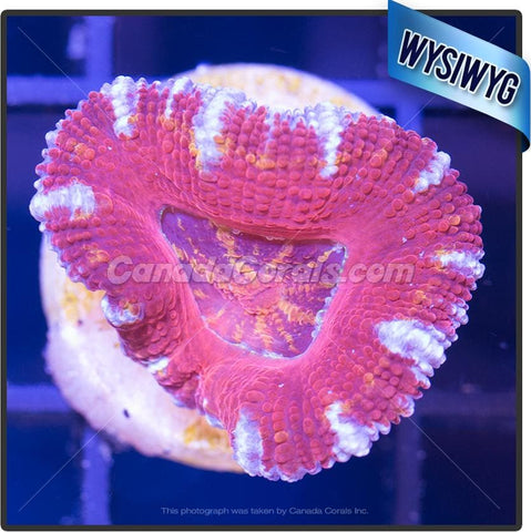Orange Splatter Ultra Acan Lord WYSIWYG 2