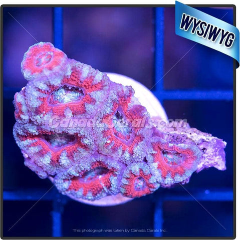 Frozen Blood Orange Acan Lord WYSIWYG 3